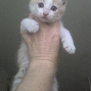 котенок Илюша -рыжий с белым