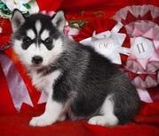 сибирские хаски щенки 100% чистые породы